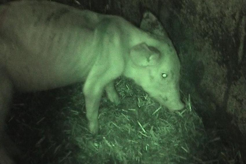 growing pig 2