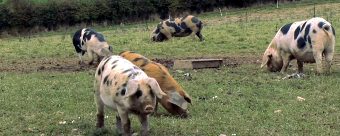 harry's pigs