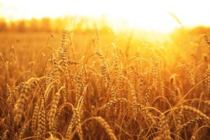 EU to allow national bans on GMOs