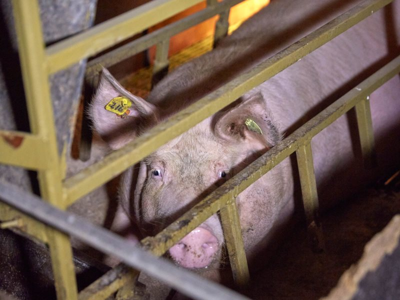 Not just cruel to pigs - farmers are the other victims of intensive