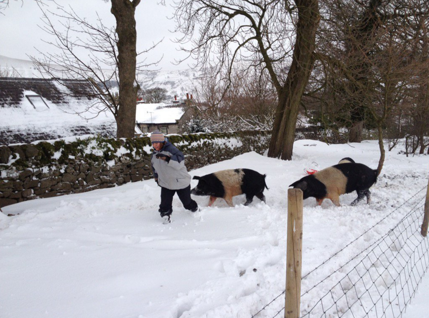 Pigs love play (Bean Hill Farm)